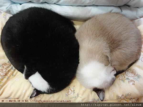 皮哥妮姐睡覺覺(多小貓生活日記)