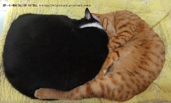 多小貓擠著皮哥睡覺(多小貓生活日記)