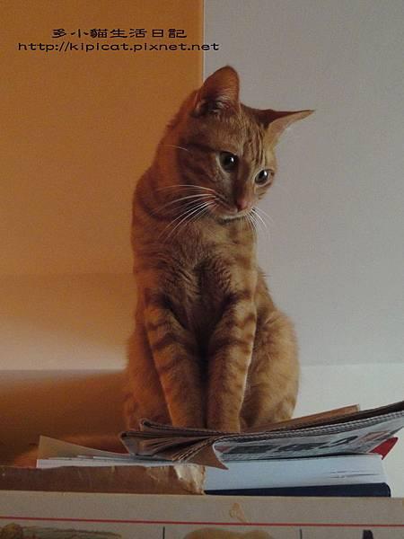 多小貓坐在書架上想辦法(多小貓生活日記)