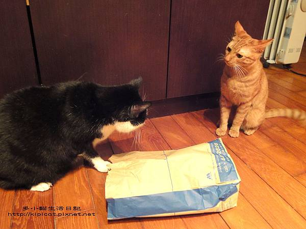 皮哥 紙袋是我先發現的(多小貓生活日記)