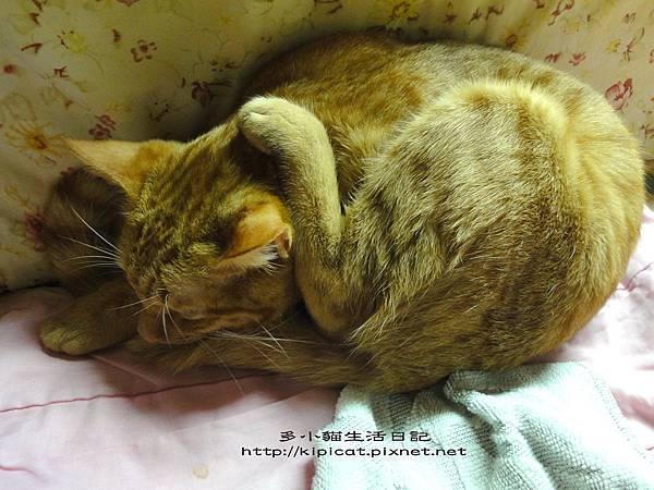 多小貓的怪睡姿(多小貓生活日記)