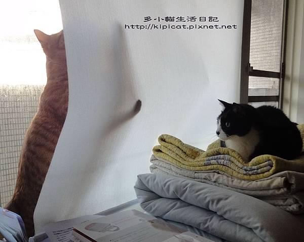 多小貓玩窗簾嚇皮哥(多小貓生活日記)