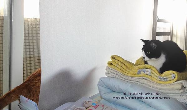 多小貓準備嚇皮哥(多小貓生活日記)
