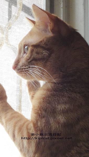 多小貓眺望窗外(多小貓生活日記)