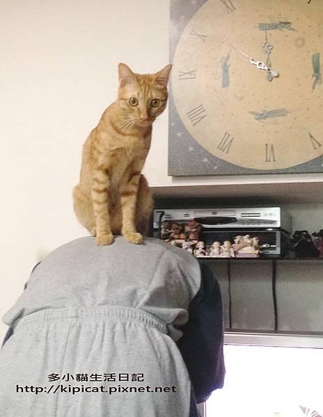 多小貓坐在爸爸背上(多小貓生活日記).jpg