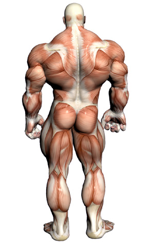 muscular-anatomy-back.jpg
