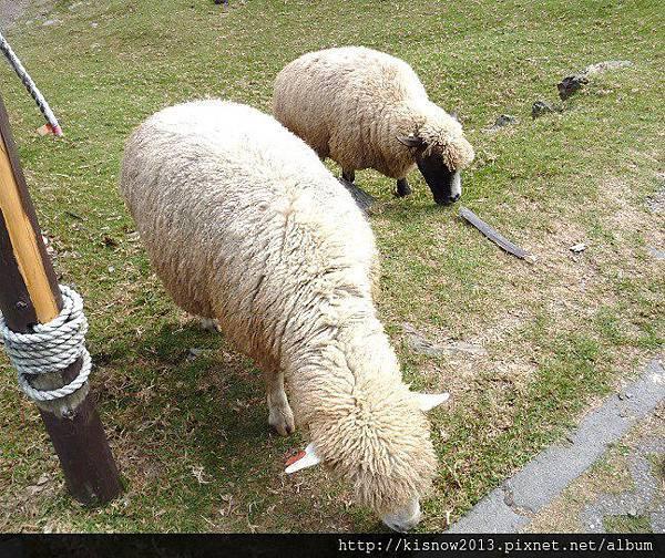 清境10-綿羊.JPG