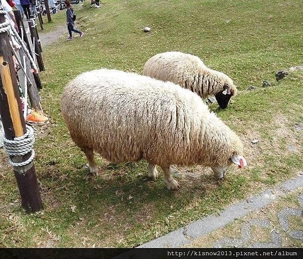 清境11-綿羊.JPG