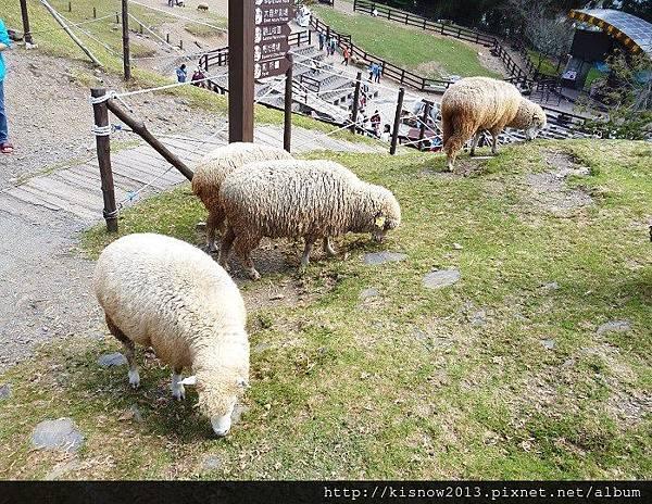 清境12-綿羊.JPG
