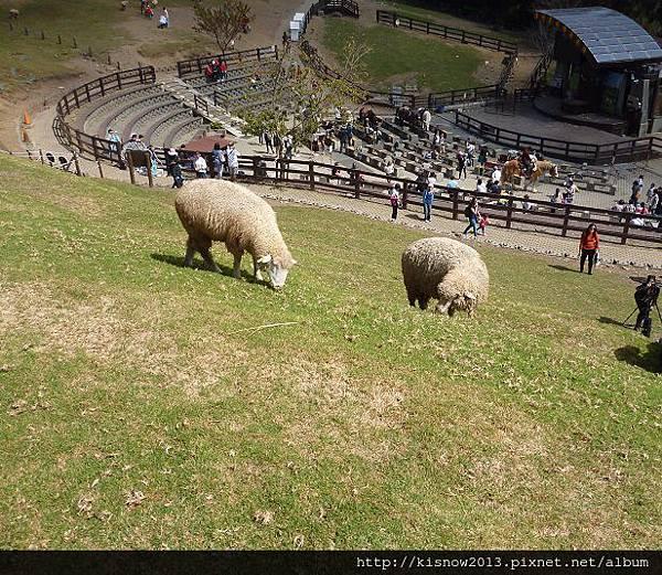 清境13-綿羊.JPG