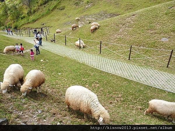 清境14-綿羊.JPG