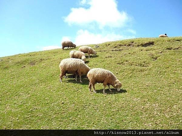 清境15-綿羊.JPG