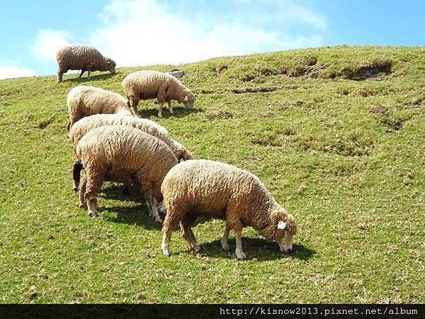 清境16-綿羊.JPG