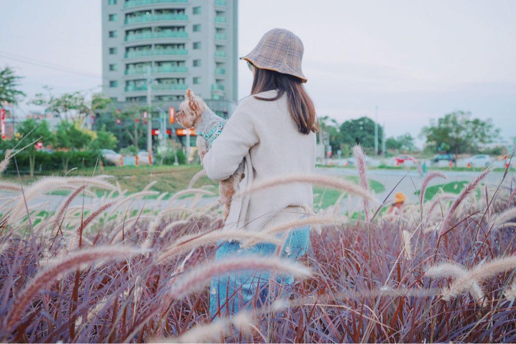 康橋河濱 紫色狼尾草