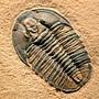 三葉蟲化石