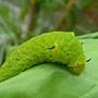 綠斑鳳蝶幼蟲