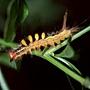 小白紋毒蛾幼蟲