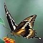 燦美如花的蝴蝶