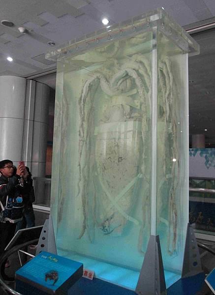 聖保羅大王魷魚