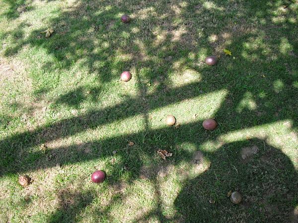 成熟的百香果