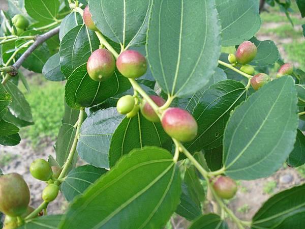 蘋果棗-6