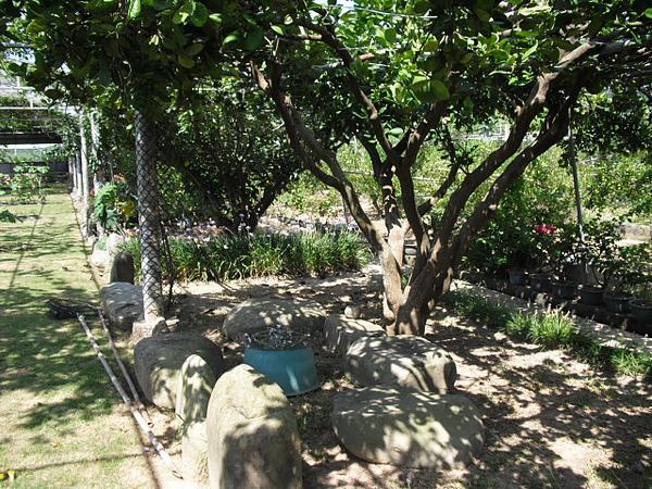 柚子樹下-1