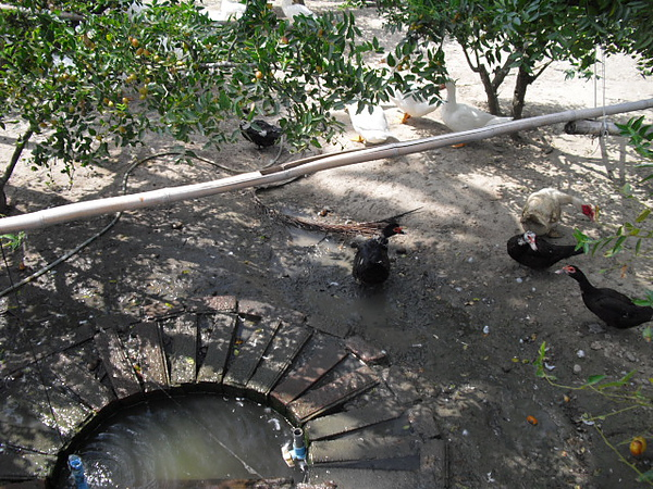 小鴨池塘-1