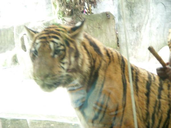 等待拍照的老虎