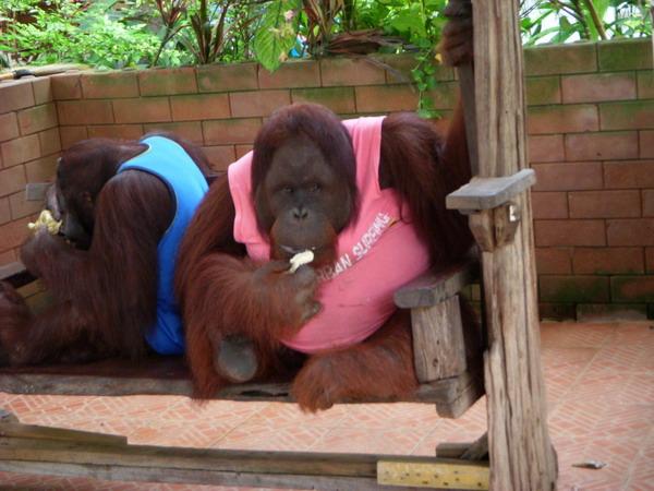 胖到不成型的猩猩