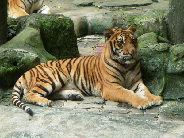 旁邊看戲的老虎