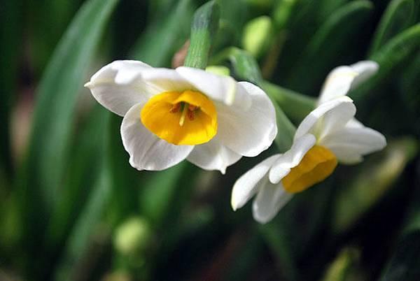 daffodil-2961297045892VnY