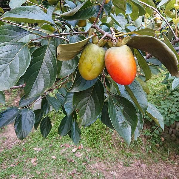 新鮮成熟柿子樹  味衛佳柿餅