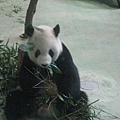 貓熊團團吃竹葉
