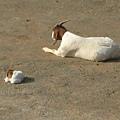 母羊和小羊
