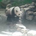 熊貓團團泡完湯