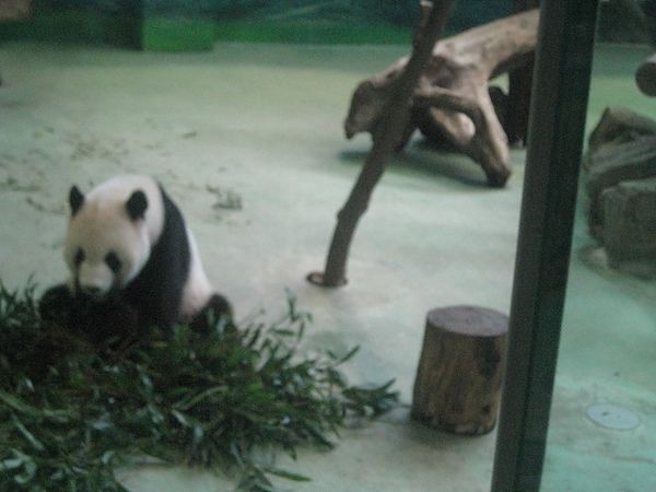 貓熊團團吃東西