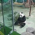 貓熊團團吃竹子
