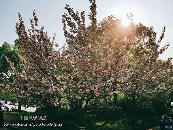 2017無錫太湖黿頭渚國際櫻花節 (25)