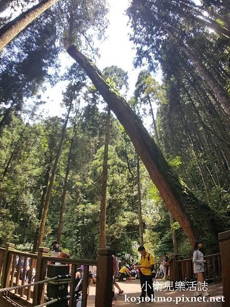 杉林溪-巨木平臺 (2)