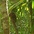 薄荷島BOHOL-迷你眼鏡猴 TARSIUS MONKEY (1)