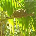 薄荷島BOHOL-迷你眼鏡猴 TARSIUS MONKEY (2)