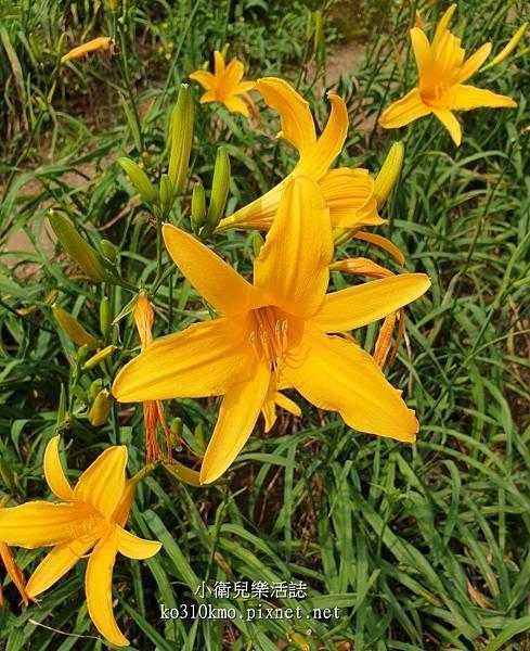 彰化金針花 (2)