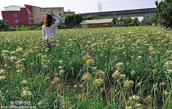 2019彰化韭菜花海