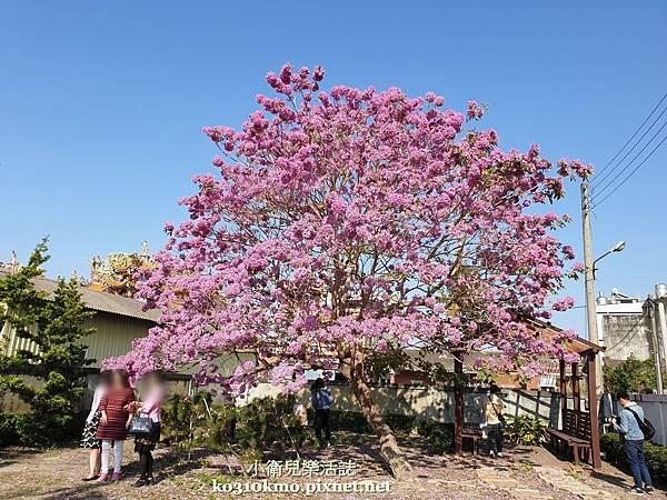 彰化最壯觀紅花風鈴木
