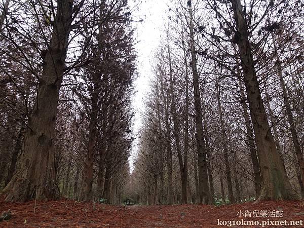 雲林景點.林內九芎村落羽松祕境