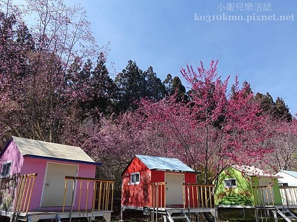 武陵農場露營區櫻花