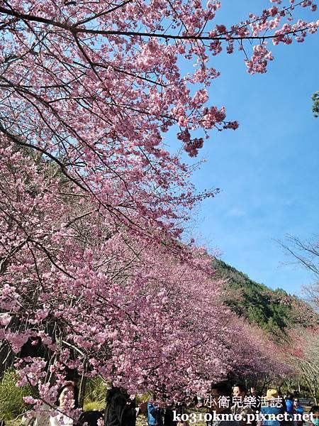 武陵農場古松櫻花帶