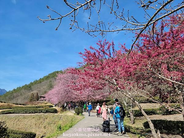 武陵農場茶園步道櫻花
