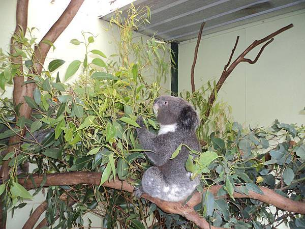 學校安排我們去澳洲動物園的無尾熊.jpg