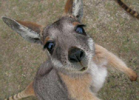 baby_kangaroo.jpg